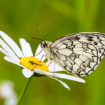 Marbled White, Holtspur Bottom, 15Jun14, Peter Hassett