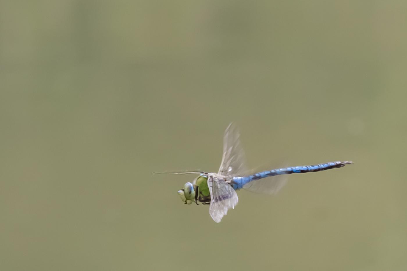 Emperor Dragonfly, Stonepit Field, 15Jul14, Peter Hassett