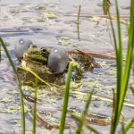 Marsh Frog by Peter Hassett, Rainham Marsh 15 May 2017