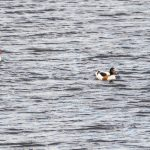 Shelduck by Peter Hassett, Rainham Marsh 15 May 2017