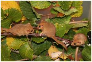 Orphaned hand reared Dormice