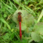 Ruddy Darter in Little Linford Wood - 2014