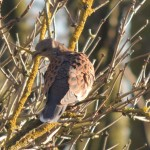 Turtle Dove in member's garden January 2014