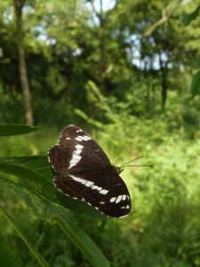 White Admiral photo by Harry Stark