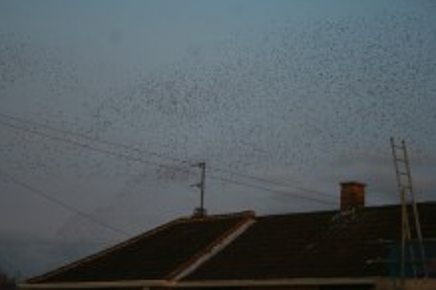 Starling Murmuration, Wolverton, 14Mar15 by Martin Kincaid