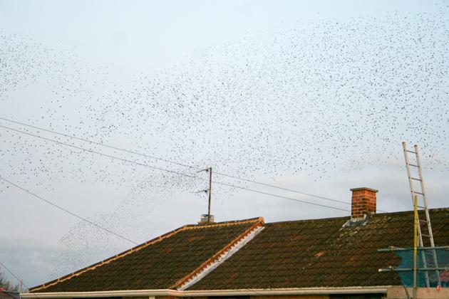 Starling Murmuration, Wolverton, 14Mar15 by Martin Kincaid
