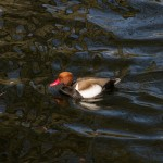 Red-crested Pochard by Peter Hassett, Kew Gardens, 12Apr15