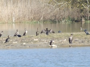 Cormorants, one drying its wings, on the HESC Bund