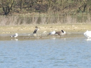 Lesser Black-backed Gull, Cormorant, Common Gull, and Canada Goose