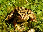 Common Frog by David Baird