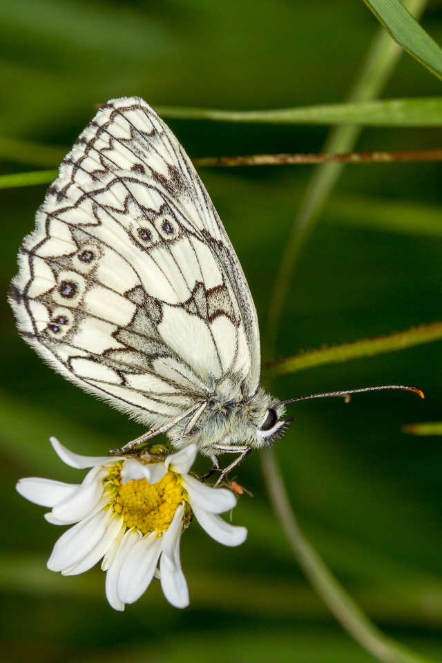 Marbled White at Linford Lakes NR