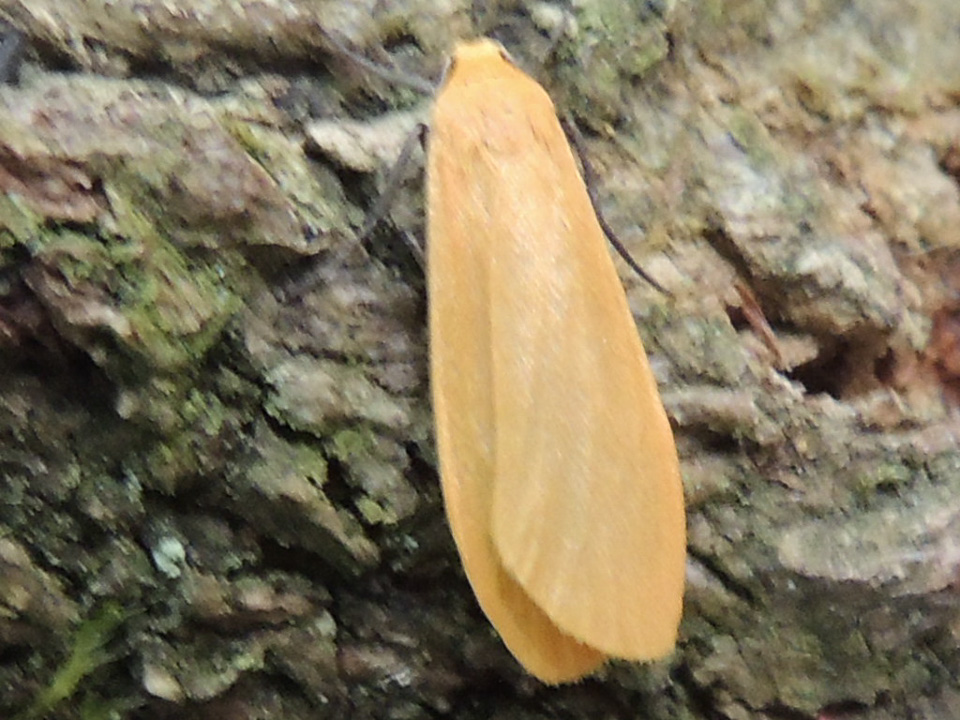 Orange Footman