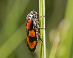 Froghopper Cercopis vulnerata
