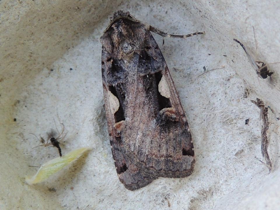 Setaceous Hebrew Character moth