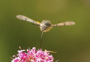 Hummingbird Hawkmoth front