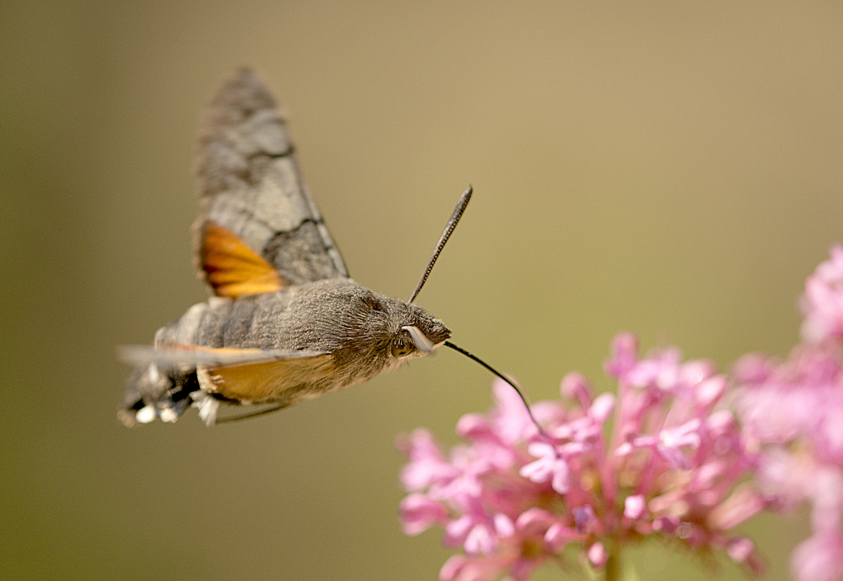 Hummingbird Hawkmoth by Paul Lund, Bancroft 28 September 2015