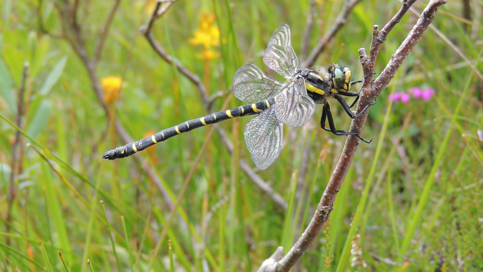 2016 Photo Competition 2nd Golden-ringed Dragonfly at Glen Affric by Julie Lane