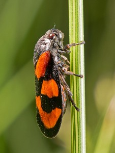 Froghopper (Cercopis vulnerata) at Linford Lakes by Paul Lund