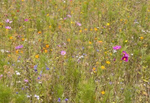 800px-Meadow_Flowers_28379837319229