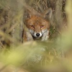 Fox, Howe Park Wood by Harry Appleyard 11Feb16