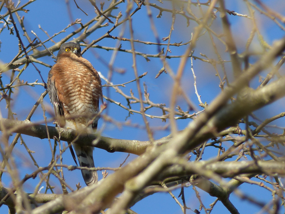Male Sparrowhawk near Howe Park Wood by Harry Appleyard 11Feb16