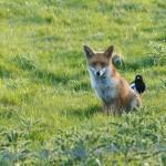 Fox and Magpie - North Bucks Way in June 2015 by Harry Appleyard
