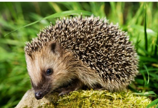 hedgehog_Philartphace_623
