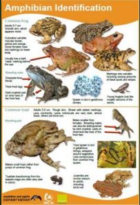 Amphibian Identification Chart icon