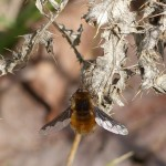 Bee-fly by Harry Appleyard, Tattenhoe 22 March 2016