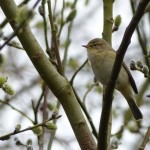 Chiffchaff by Harry Appleyard, Tattenhoe 22 March 2016