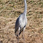 Grey Heron by Peter Garner, Floodplain Forest NR, 25 March 2016