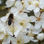 Hoverfly on blossom by Harry Appleyard, Tattenhoe, 20 March 2016