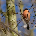 Male Bullfinch by Harry Appleyard, Tattenhoe 06Mar16