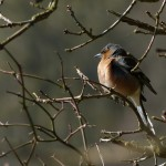 Male Chaffinch by Harry Appleyard, North Bucks Way 14 March 2016