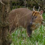 Muntjac Buck by Harry Appleyard, Howe Park Wood 24 March 2016
