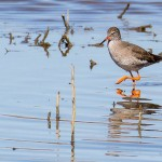 Redshank by Peter Garner, Floodplain Forest NR, 25 March 2016