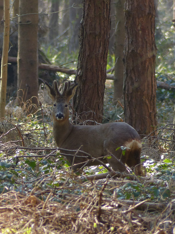 Roe Buck by Harry Appleyard, North Bucks Way 11 March 2016