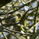 Siskin by Harry Appleyard, Howe Park Wood 22 March 2016