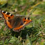 Small Tortoiseshell by Harry Appleyard North Bucks Way 11 March 2016
