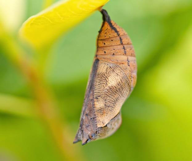 Can A Butterfly Defend Itself In The Chrysalis