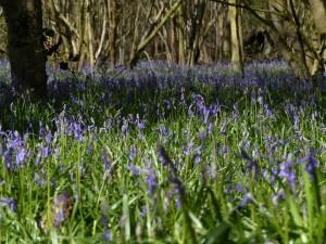 Bluebells by Harry Appleyard, Howe Park Wood 10 April 2016