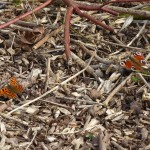 Comma and Peacock by Harry Appleyard, Howe Park Wood 2 April 2016