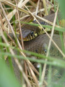 Grass Snake by Harry Appleyard, Tattenhoe, 15 April 2016