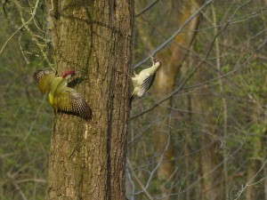 Green Woodpeckers, Howe Park Wood (11th April)