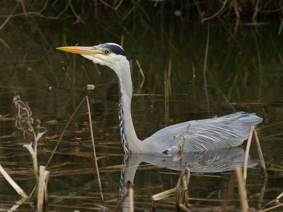 Grey Heron by Harry Appleyard, Howe Park Wood 2 April 2016
