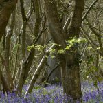 Bluebells, Howe Park Wood by Harry Appleyard, 14 April 2016