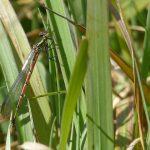 Large Red Damselfly by Harry Appleyard, Tattenhoe Park 20 April 2016
