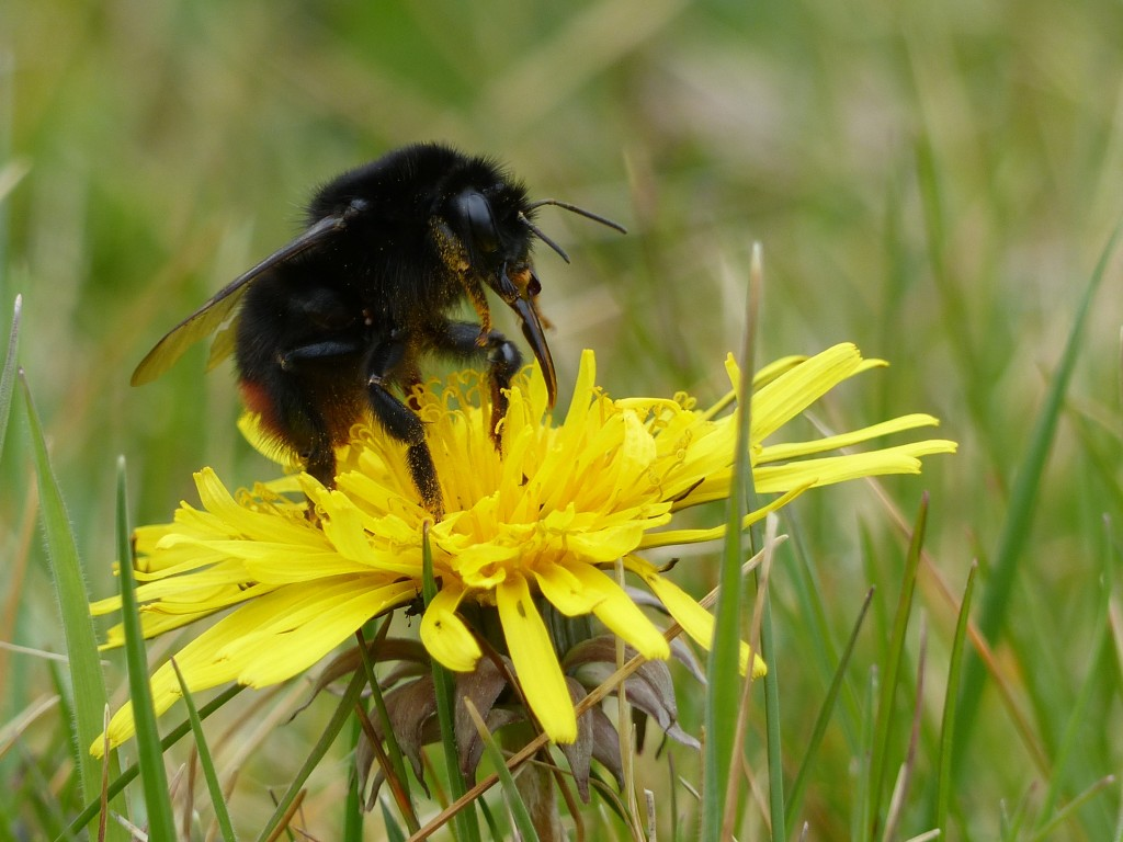 Red-Tailed Bumblebee by Harry Appleyard, Tattenhoe 11 April 2016