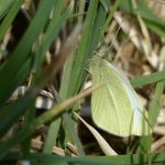 Small White by Harry Appleyard, Tattenhoe, 17 April 2016