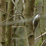 Treecreeper by Harry Appleyard, Howe Park Wood, 14 April 2016